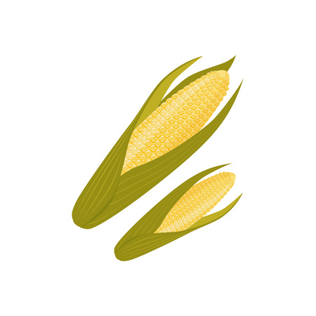 Cartoon style corn cob, ear with green leaves, vector illustration isolated on white background. Two cartoon style cobs, ears of corn crop, farm product