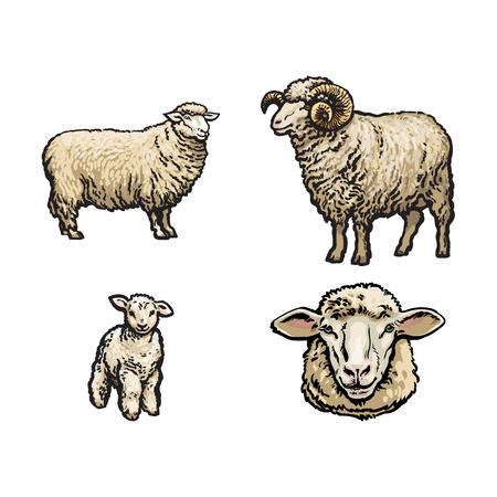 croquis de vecteur de moutons de dessin animé, agneau à cornes et ensemble de tête de mouton. Illustration isolée sur fond blanc. Animal dessiné à la main sans cornes. Bovins, animaux de bétail à ossature