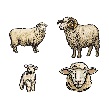 vector sketch cartoon style sheep, horned ram lamb and sheep head set. Isolated illustration on a white background. Hand drawn animal without horns. Cattle, farm cloven-hoofed livestock animal