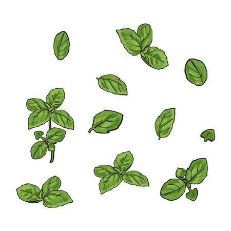 바 질 잎, 단일 및 나뭇 가지의 손으로 그려진 된 집합 스케치 스타일 벡터 일러스트 레이 션 흰색 배경에 고립. 흰색 배경에 고립 된 바 질 잎의 현실적 일러스트