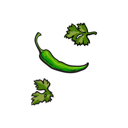 Fresh whole ripe green chili pepper and parsley leaves, sketch style vector illustration on white background. Realistic hand drawing of whole green chili pepper and parsley herb leaves
