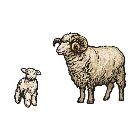 벡터 스케치 만화 스타일 horned ram 및 양고기입니다. 흰색 배경에 고립 된 그림입니다. 큰 트위스트 뿔 손으로 그린 동물입니다. 가축 농장 종아리 가축