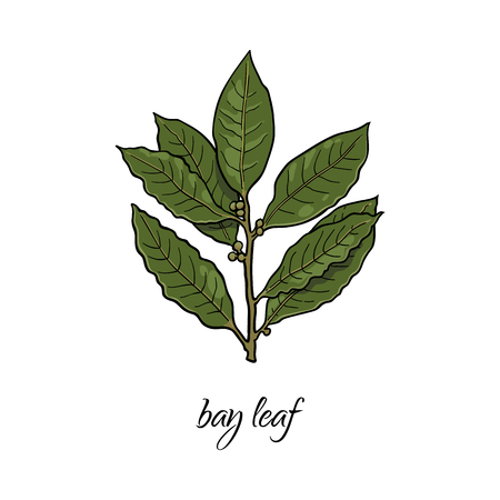 vector flat cartoon sketch style hand drawn bay leaves branch image. Isolated illustration on a white background. Spices , seasoning, flavorings and kitchen herbs concept.