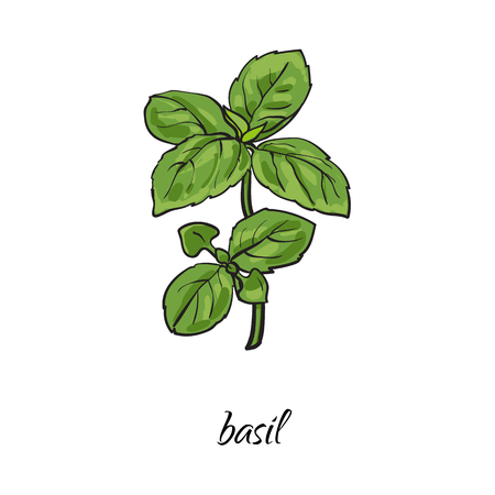 vector flat cartoon sketch style hand drawn basil branch with stem, leaves image. Isolated illustration on a white background. Spices , seasoning, flavorings and kitchen herbs concept.