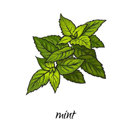 ベクトル フラット漫画スケッチ スタイル手描き下ろしミント葉画像。白い背景に分離の図。スパイス、調味料、調味料、キッチン ハーブ。