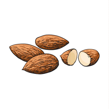 Whole and cut almond nuts, vector illustration isolated on white background. Drawing of almonds on white background, delicious healthy vegan snack