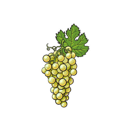 Ripe and juicy white grapes, vector illustration isolated on white background. Drawing of fresh white grapes hanging Ilustração