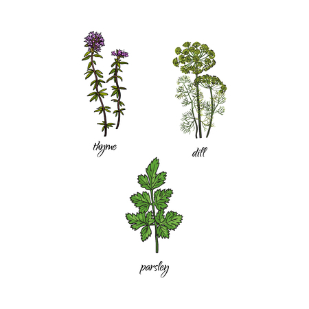 balm: vector flat cartoon sketch style hand drawn Spices , seasoning, flavorings and kitchen herbs set. thyme, dill and parsley leaves, stem. Isolated illustration on a white background.