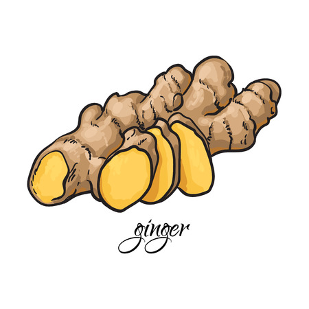 Hand drawn fresh ginger root with caption, sketch style vector illustration on white background. Realistic hand drawing of whole fresh ginger root with caprion