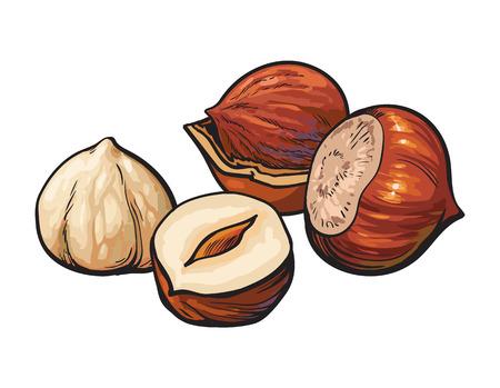 전체 및 벗 겨 hazelnuts, 벡터 일러스트 레이 션 흰색 배경에 고립. 흰색 배경에 개 암 나무 견과류의 드로잉, 맛있는 건강한 채식 간식