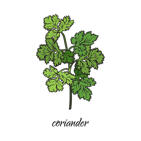 vector flat cartoon sketch style hand drawn coriander, cilantro branch with stem, leaves image. Isolated illustration on a white background. Spices , seasoning, flavorings and kitchen herbs concept.