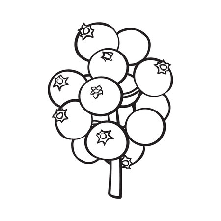 black and white mistletoe berries, holly berry Christmas decoration element, sketch style vector illustration on white background. Illustration