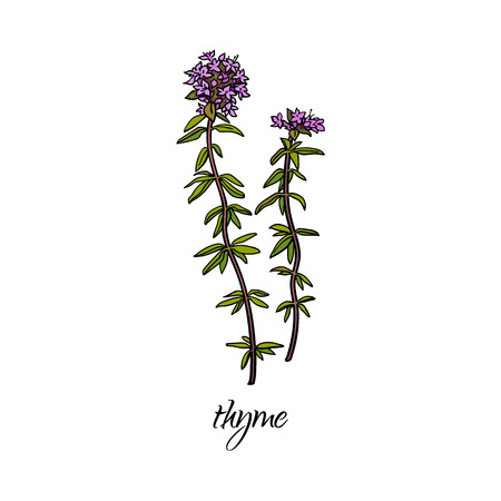 vector flat cartoon sketch style hand drawn thyme stem, leaves, flowers branch image. Isolated illustration on a white background. Spices , seasoning, flavorings and kitchen herbs concept.