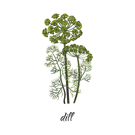 벡터 플랫 만화 스케치 스타일 손으로 그려진 된 딜 줄기, 지점 이미지와 나뭇잎. 흰색 배경에 고립 된 그림입니다. 향신료, 조미료, flavorings 및 부엌 허