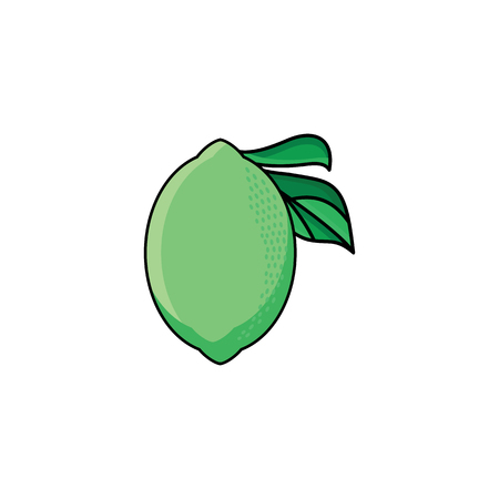 벡터 플랫 스케치 스타일 녹색 신선한 잘 익은 라임. 흰색 배경에 고립 된 그림입니다. 건강 한 채식 식사, 다이어트 및 라이프 스타일 디자인 개체입니