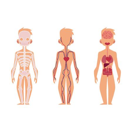 人体のベクター平らな構造は、解剖学−男性、内臓、神経、血流循環、心血管系である。白い背景に分離されたイラスト。