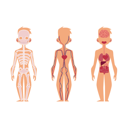 Vector flat structure of the human body, anatomy - male, internal organs, nervous, bloodstream circulatory, cardiovascular system. Isolated illustration on a white background. Illustration