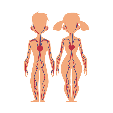 Vector flat structure of the human body, anatomy - male, female internal bloodstream circulatory, cardiovascular system. Isolated illustration on a white background.