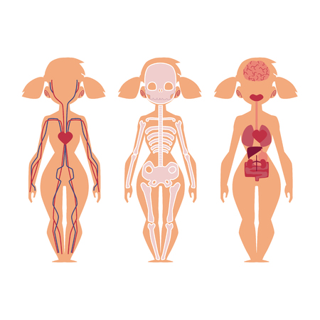 Vector flat structure of the human body, anatomy - female, internal organs, nervous, bloodstream circulatory, cardiovascular system. Isolated illustration on a white background.