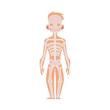 Vector flat structure of the human body, anatomy - male bones, human skeleton. Anatomical skeletal system, education, science design object. Isolated illustration, white background.