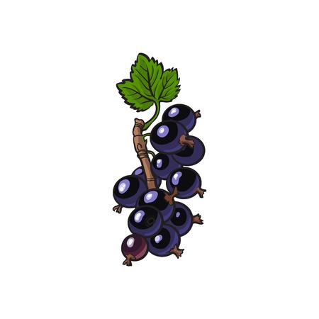 Schwarze Johannisbeere, Hand gezeichnetes reifes Beerenbündel mit Blättern. Natürliches organisches Vitaminlebensmittel der Skizzenart. Gesunde vegetarische Süßspeise, saftiger Bestandteil. Vektor lokalisierte Illustration.