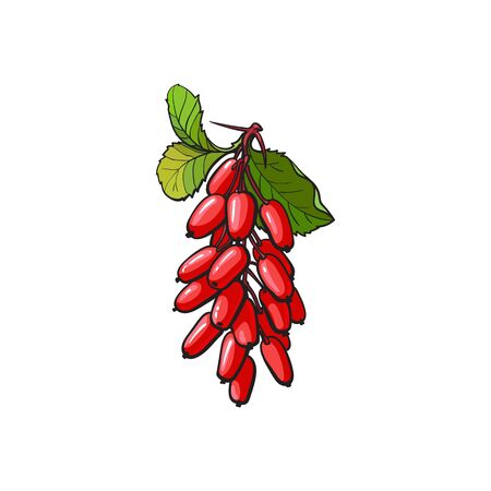 Barberry hand drawn ripe red berries bunch with leaves icon. Sketch style natural organic vitamin food. Healthy vegetarian sweet dessert, juicy ingredient. Vector isolated illustration.