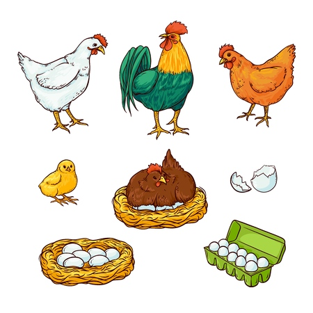 Flat poultry, farm chicken set. Rooster, cock, hen chicken in hay nest, eggs in cardboard box, yellow small chick, eggshell. Isolated illustration, white background organic food design elements.