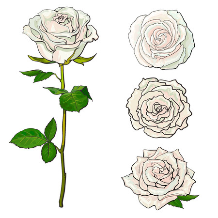 White rose blooms set with branch of summer flower and different buds in sketch style isolated on white background - collection of various hand drawn rose blossoms, vector illustration.