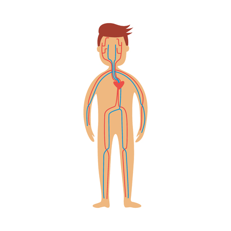 Human cardiovascular system - schematic depiction of location of heart and blood vessels. Diagram of internal organs in male body for health care concept, flat isolated anatomical vector illustration.  イラスト・ベクター素材