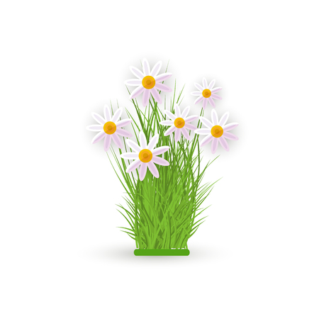 Fresh white chamomiles on green grass - spring and summer floral bundle isolated on white background. Beautiful seasonal decorative element with flowers in flat vector illustration. Ilustracja