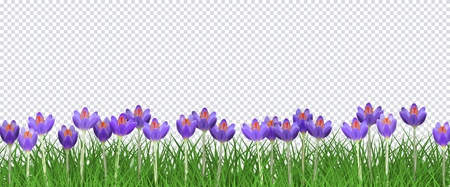Spring floral border with bright purple crocuses on fresh green grass on transparent background - decorative frame with beautiful seasonal blooms on greenery in vector illustration. Ilustracja