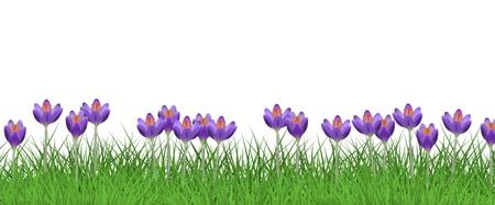 Borde floral de primavera con azafranes púrpuras brillantes sobre hierba verde fresca aislada sobre fondo blanco - marco decorativo con hermosas flores de césped estacionales en vegetación en la ilustración vectorial.