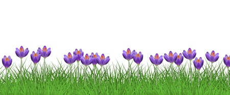 Spring floral border with bright purple crocuses on fresh green grass isolated on white background - decorative frame with beautiful seasonal lawn flowers on greenery in vector illustration.