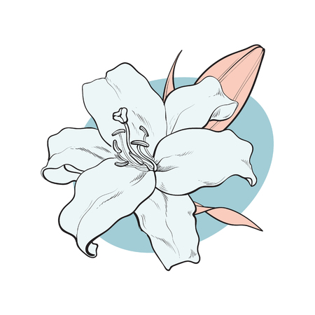 Lilly bloom in pastel colors in sketch style isolated on white background. Hand drawn tender summer flower with bud and leaves - floral decorative element in vector illustration.