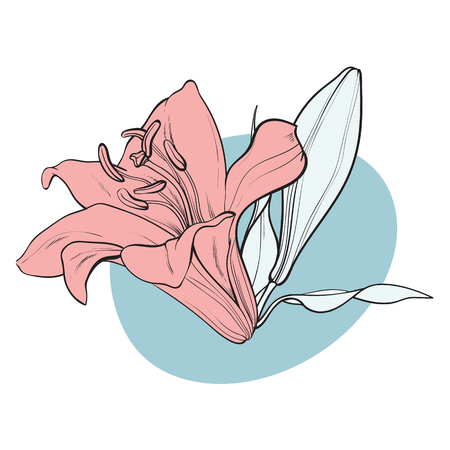 Lilly bloom in pastel colors in sketch style - hand drawn tender summer flower with bud and leaves isolated on white background. Floral decorative element in vector illustration.