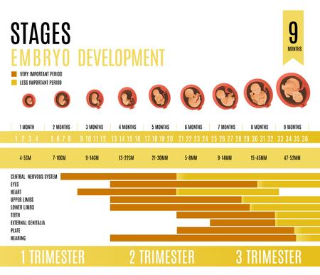 Mois de développement de l'embryon et étapes du trimestre vector illustration isolé sur fond blanc. Processus de croissance fœtale humaine dans un style cartoon plat pour l'infographie de la grossesse.
