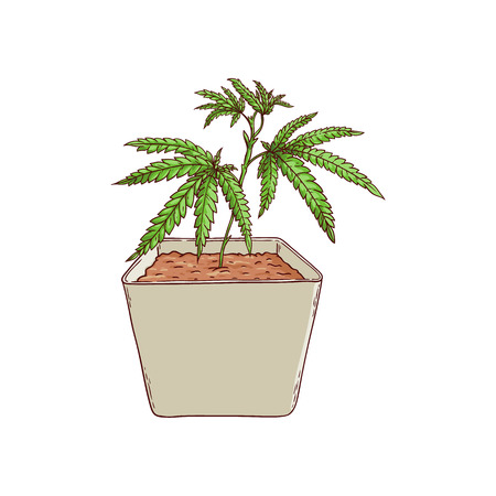 Vector cannabis plant in pot sketch icon. Green hemp plant with leaves, ligalized smoking drug symbol, marijuana herb, can be used in medical design. Isolated illustration Illustration