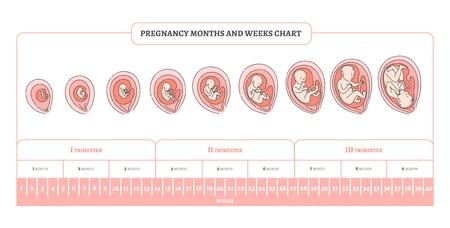 Schwangerschaftsmonat, -wochen und -trimester-Diagramm mit Stadien der Embryonalentwicklung - Infografik des Prozesses des menschlichen fetalen Wachstums in Vektorillustration einzeln auf weißem Hintergrund. Vektorgrafik