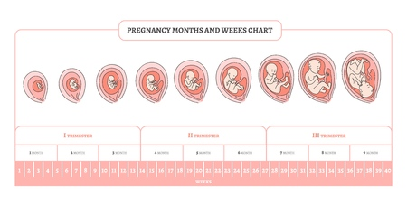 Pregnancy month, weeks and trimesters chart with stages of embryo development - infographic of process of human fetal growth in vector illustration isolated on white background.