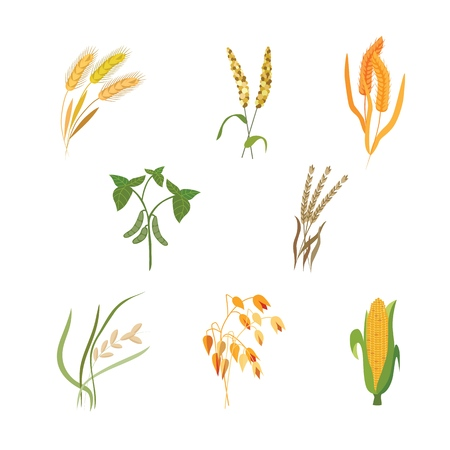 Vector illustration set of different types of cereals in flat style - various grain plants isolated on white background. Agriculture crops for eco farming organic healthy food concept.