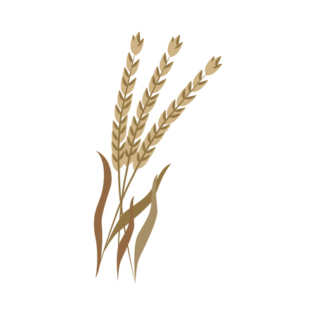 Ripe dry ears of spelt on stem in flat style - vector illustration of brown whole cereal spike of dinkel wheat isolated on white background. Bunch og grain branches for organic farm eating concept.