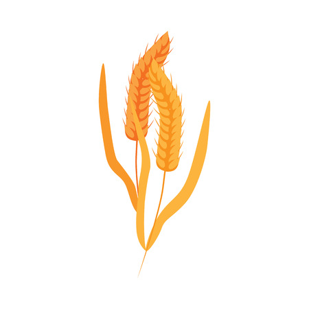 Ripe dry wheat ears with grains on stalk in flat style - vector illustration of yellow whole cereal spikes with golden seeds isolated on white background. Cereal crop for healthy organic food concept.
