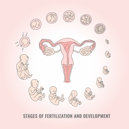 Infographic of pregnancy stages with process of fertilization and development of embryo in line hand drawn style - isolated vector illustration of mitosis and fetal growth cycle. Illustration