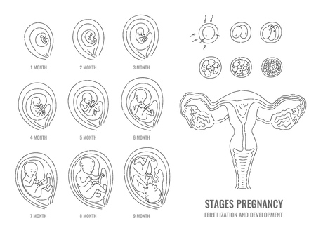 Schwangerschaftsstadien mit Prozess der Befruchtung und Entwicklung des Embryos im handgezeichneten Stil isoliert auf weißem Hintergrund - Vektorillustration der Mitose und des fetalen Wachstumszyklus. Vektorgrafik