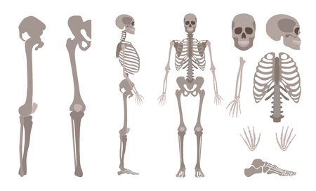 Vector human skeleton parts set. Human body bones, Scientific and anatomical mockup for education. Skull, backbone or spine, chest, ribs, legs on isolated background.