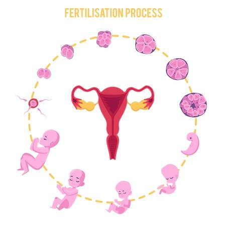 Infografika etapów ciąży z procesem zapłodnienia i rozwoju zarodka w układzie płaskim. Etapy i cykl rozwoju zarodka, proces zapłodnienia, wektor ilustracja na białym tle. Ilustracje wektorowe