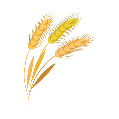 Ears of barley grains on stalk in flat style - vector illustration of yellow whole spikes with golden seeds isolated on white background. Raw ripe dry cereal crop for healthy organic food concept.