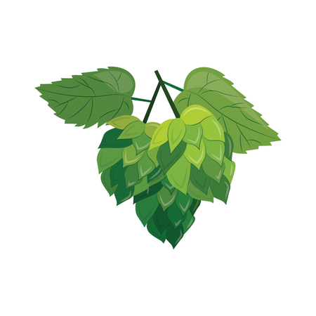 Green hop plant with leaves and cones isolated on white background. Vector green hop illustration on isolated white background in cartoon style for beer, alcohol. Standard-Bild - 125353985