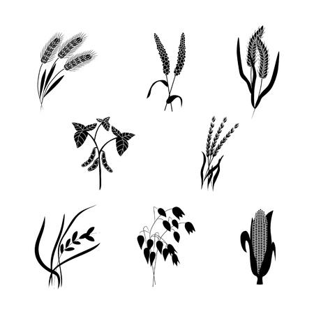 벡터 옥수수, 밀 귀, 귀리 또는 보리 검은 실루엣 아이콘 세트. 유기농 식품, 농산물 디자인을 위한 수확 시리얼. 비타민과 영양 삽화가 가득한 천연 건강 식품