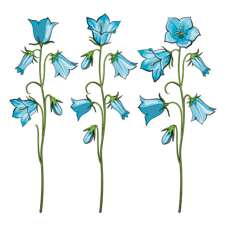 Vector bellflower stems with blossoms set. The capanula flower with open and closed blossoms, blue petals. Natural summer, spring meadow plants. Floral natural illustration for poster decoration
